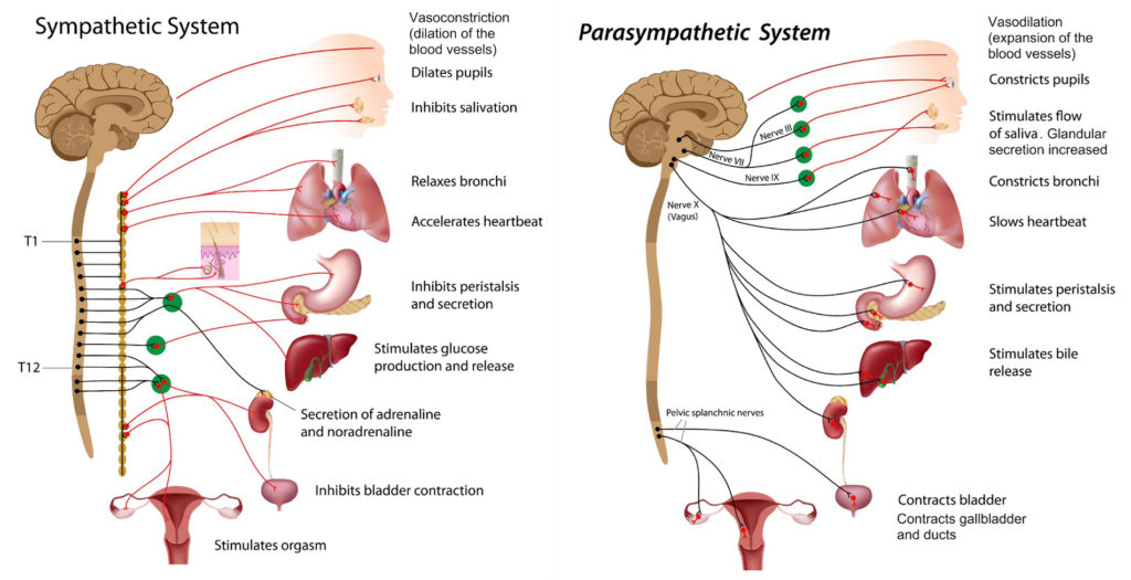 Sympathetic and parasympathetic_systems